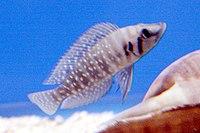 Altolamprologus calvus 1862