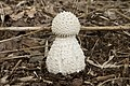 Amanita virgineoides 11.jpg