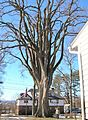 American Elm in Western Massachusetts - January 27, 2013.jpg