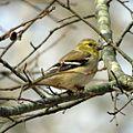 American Goldfinch 3 (14498807637).jpg