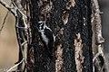 American Three-toed Woodpecker Signal Burn Gila NF NM 2017-10-18 09-01-34 (27296188349).jpg