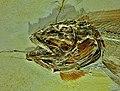 Amiopsis lepidota head - Eichstaett, Jura-Museum.jpg