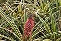 Ananas bracteatus, Dole Pineapple Plantation, Oahu, Hawaii, USA2.jpg