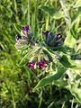 Anchusa officinalis sl15.jpg