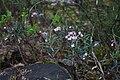 Andromeda polifolia Suokukka C IMG 3589.JPG