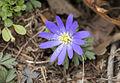Anemone blanda - Dağlâlesi 03.jpg