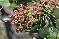 Angophora hispida DSC 0282 (6747728843).jpg