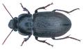 Anisodactylus (Pseudanisodactylus) signatus (Panzer, 1796) (31824091404).png