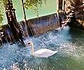 Annecy - swan 3.jpg