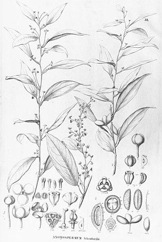 Curare - Image: Anomospermum schomburgkii