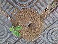 Anthill and brick sidewalk (28050228262).jpg