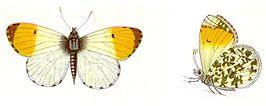 Anthocharis cardamines - Aurorafalter.jpg