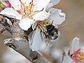 Anthophora nigriceps male 2.jpg
