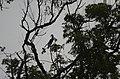 Anthracoceros coronatus Malabar Pied Hornbil JEG2943.jpg