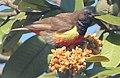 Anthreptes anchietae, Cuchi, Birding Weto, a (cropped).jpg