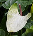 Anthurium 'White Heart' Spathe and Spadix.JPG