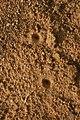 Antlion larva pit trap IMG 6507.jpg