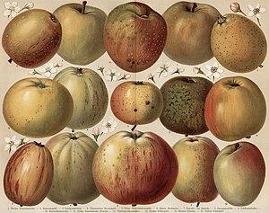 Eduard Lucas - Apple varieties (Diel-Lucas system)