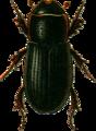 Aphodius rhododactylus Jacobson.png