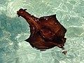 Aplysia Sa Canova 01.JPG