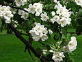 Apple blossom (Malus domestica) 06.JPG