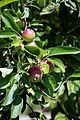 Apples in the Walled Garden of Parham House, West Sussex, England 3.jpg