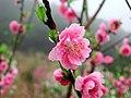 Apricot 杏花 - panoramio.jpg