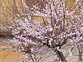 Apricot in bloom.JPG