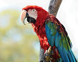 Red-and-green macaw - Image: Ara chloropterus Birmingham Zoo, Alabama, USA 8a