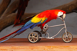 A Scarlet Macaw riding a small tricycle at an ...
