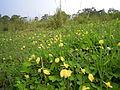 Arachis pintoi habit14 Carol Rose (9525446151).jpg
