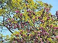 Arboretum Zürich - Magnolia × soulangeana 2014-04-09 16-43-30 (P7800).JPG