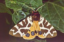 Un papillon de forme triangulaire, ailes supérieures brunes sillonnées de blanc, ailes inférieures ocres avec des points noir bleuté
