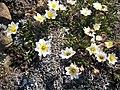 Arctic Flowers - 9 (7569323898).jpg