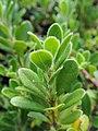 Arctostaphylos uva-ursi kz03.jpg
