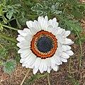 Arctotis fastuosa-IMG 3136.jpg