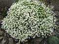 Arenaria grandiflora 7.JPG