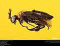 Argid sawfly (Argidae, Neoptilia tora (Smith)) (36928902765).jpg