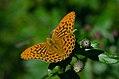 Argynnis paphia (35758932973).jpg