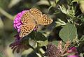 Argynnis paphia - Cengaver 02.jpg