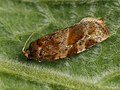 Argyrotaenia ljungiana - Листовёртка гребневая (40585355594).jpg