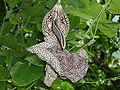 Aristolochia labiata.jpg
