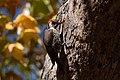 Arizona Woodpecker (male) Lower Huachuca Canyon Sierra Vista AZ 2018-11-10 12-56-04 (48204525902).jpg