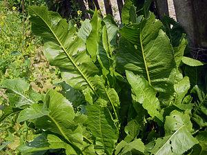 Armoracia lapathifolia bgiu.jpg