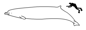 Arnoux's beaked whale size.png