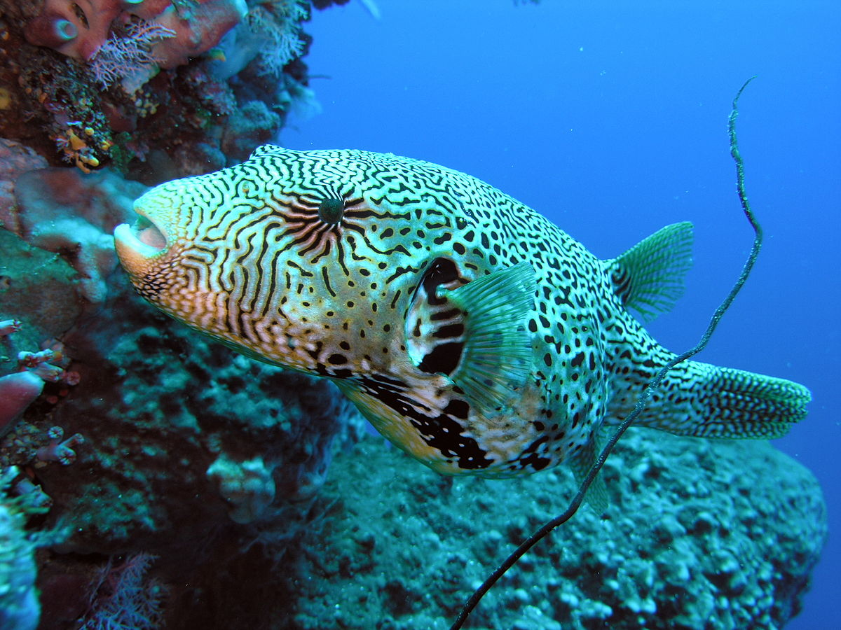 Map puffer wikipedia for What is a puffer fish