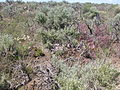 Artemisia tridentata wyomingensis (3702721649).jpg