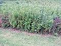 Artemisia verlotiorum Lamotte (AM AK304089-2).jpg