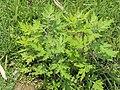 Artemisia vulgaris AJTJ.jpg