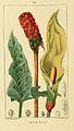 Arum maculatum00.jpg
